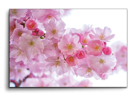 รูปติดผนังห้อง ดอกซากุระ สีชมพู